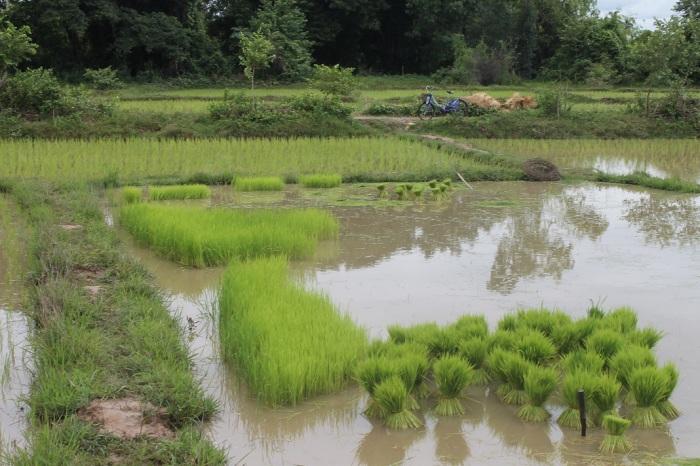 10 des rizières à Don khon aux 4000 iles