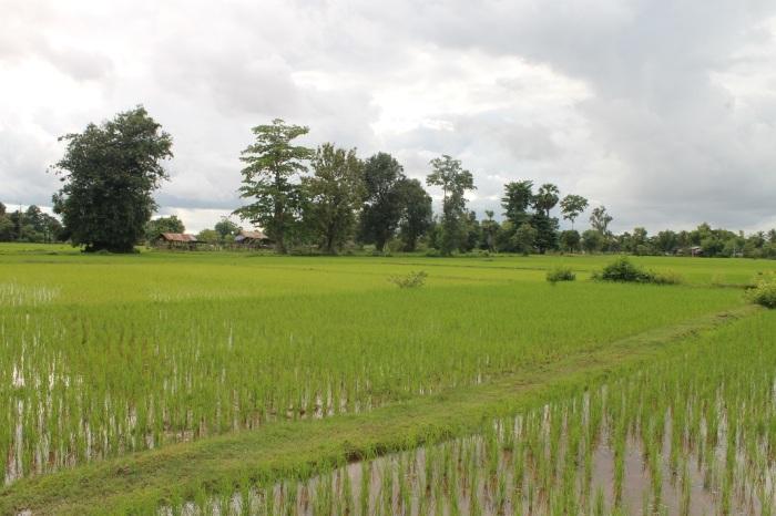 14 les rizières aux alentours de mama leuah sur les 4000 iles au Laos