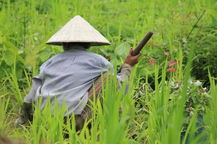 3 paysans cultivant les rizières