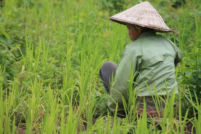 4 paysans cultivant les rizières au laos