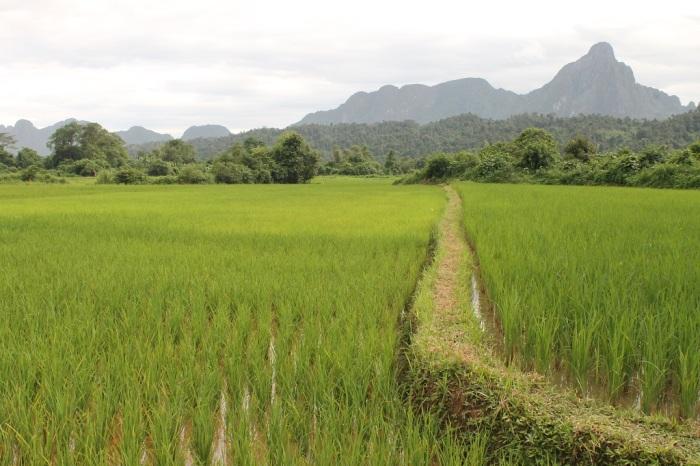 8 les rizières dans la campagne de Vang Vieng