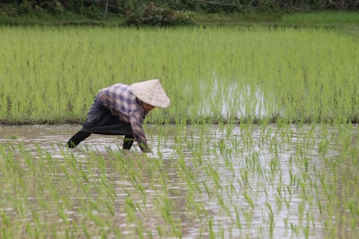 9 travaille dans les rizières à Don khon