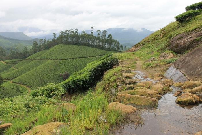 paysage-munnar-champs-de-thé (1)
