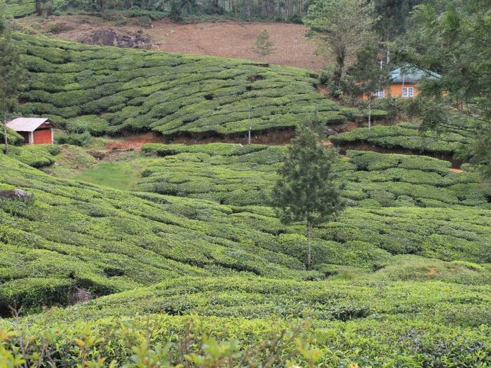 paysage-munnar-champs-de-thé (2)