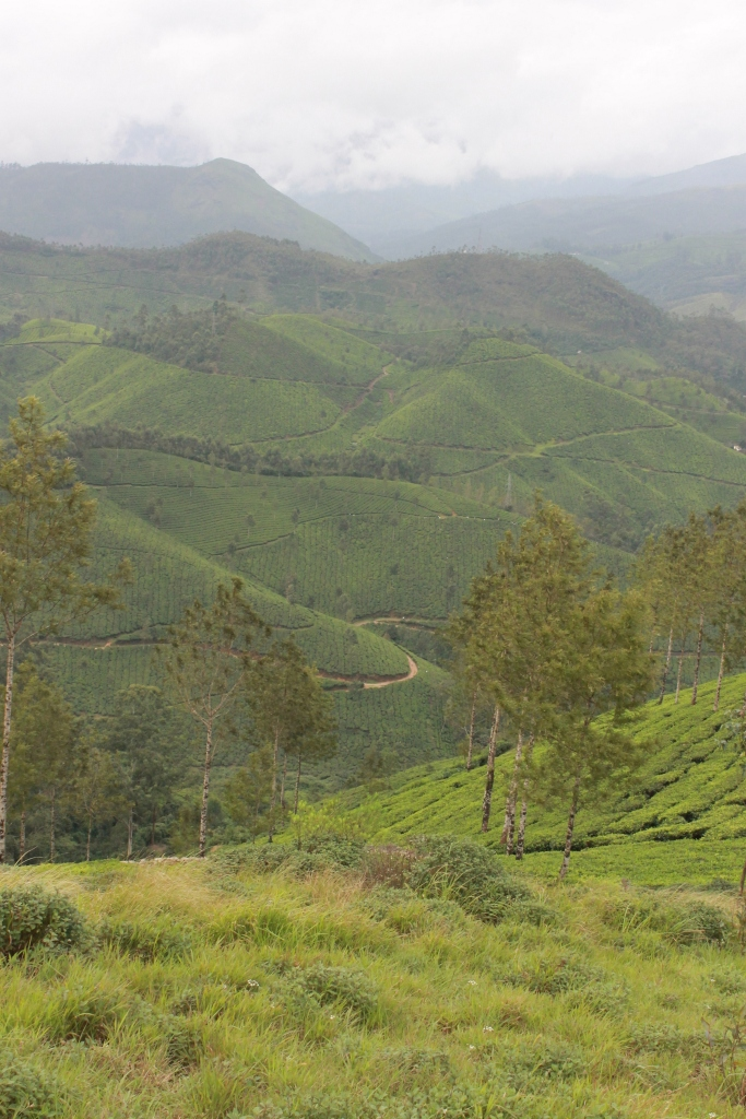 paysage-munnar-champs-de-thé (4)