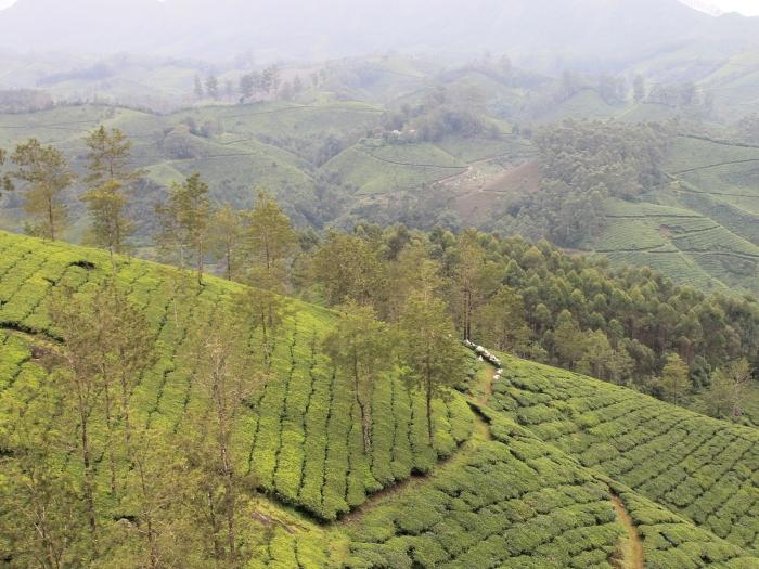 paysage-munnar-champs-de-thé (5)