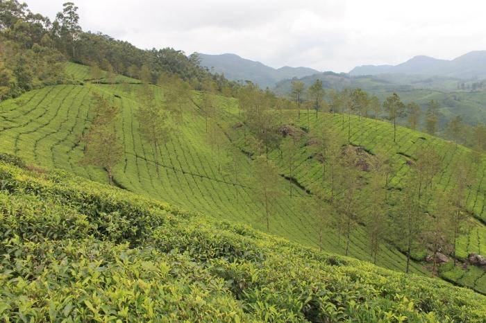 paysage-munnar-champs-de-thé (6)