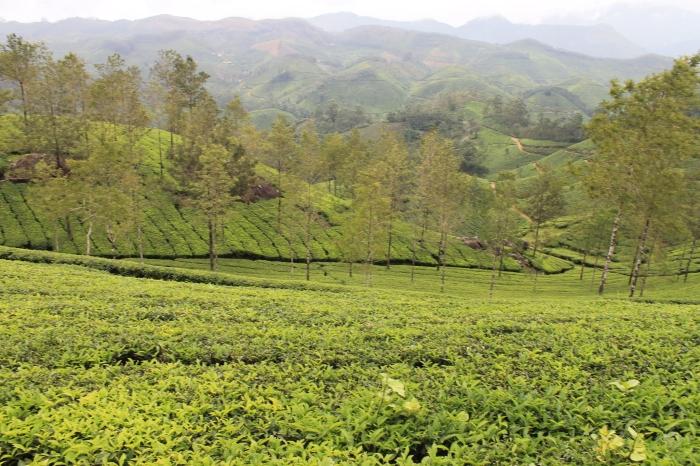 paysage-munnar-champs-de-thé (7)