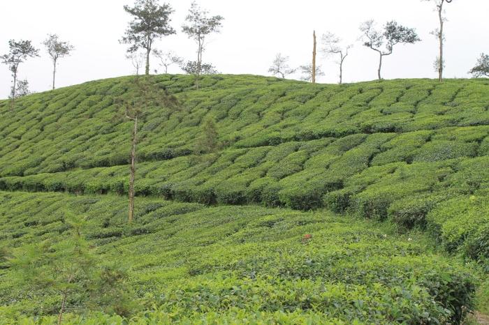 Plantations de thé.