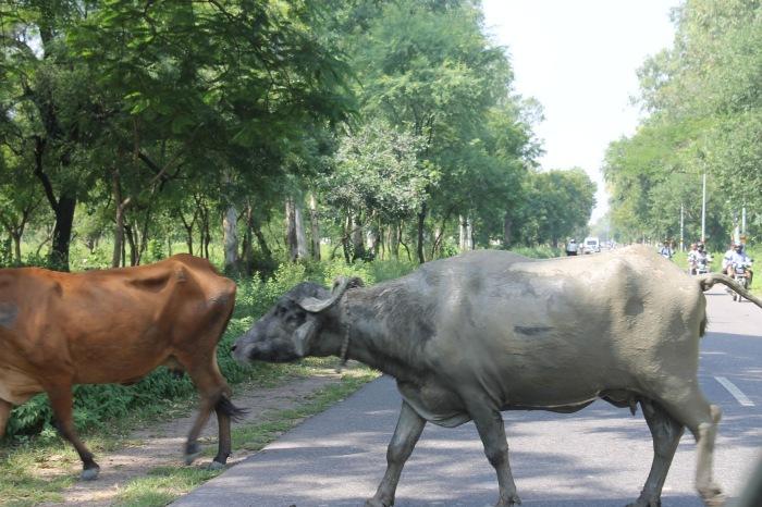 boeufs-qui-traversent-en-Inde